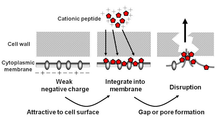 Pore-forming Peptide