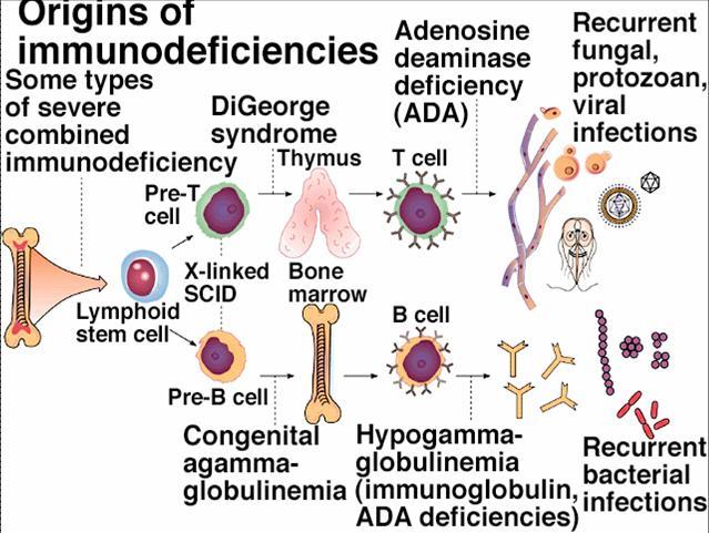 Immunity System Diagram Immune System Organ Diagram