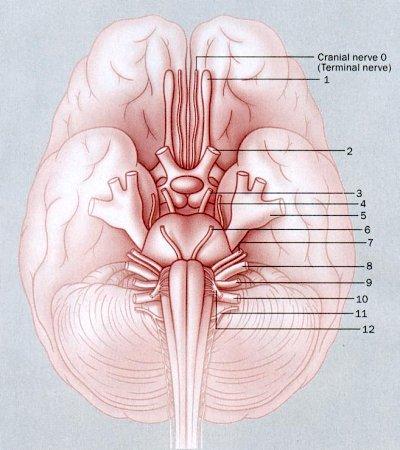 http://universe-review.ca/I10-13-cranial000.jpg