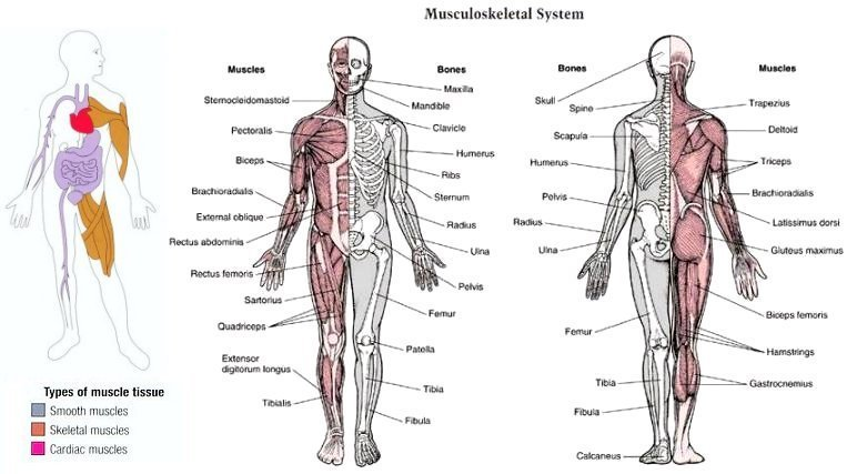 Labeled Diagram Of Muscular System – craftbrewswag.info