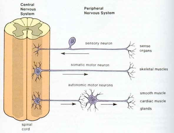 Neuron and Nerve