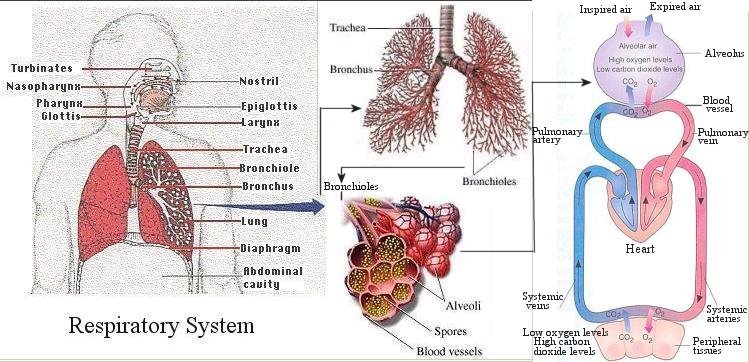 Anatomy of animals respiratory the lungs of mammals have a spongy texture and are honeycombed with epithelium having a much larger surface area in total than the outer ccuart Gallery