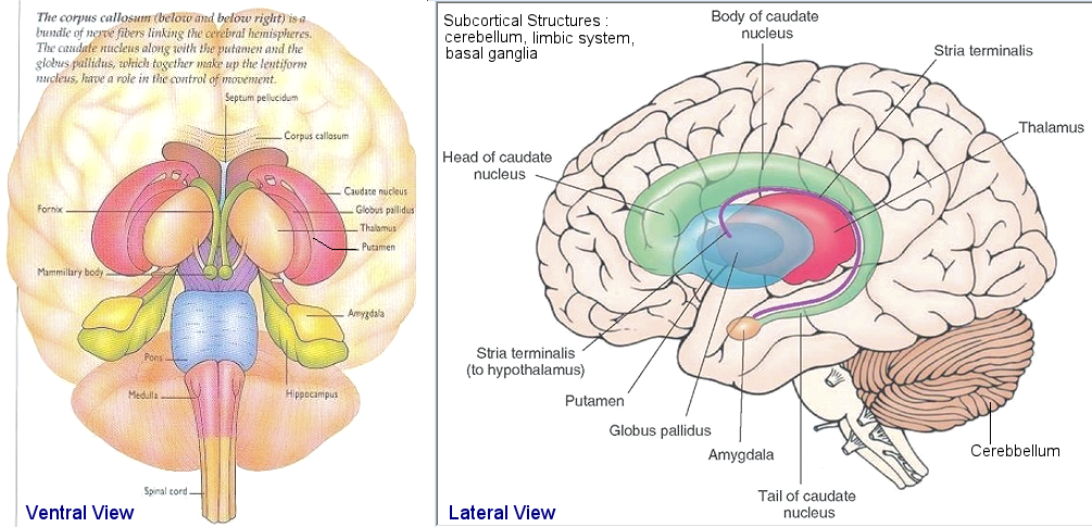 Subcortical Structure