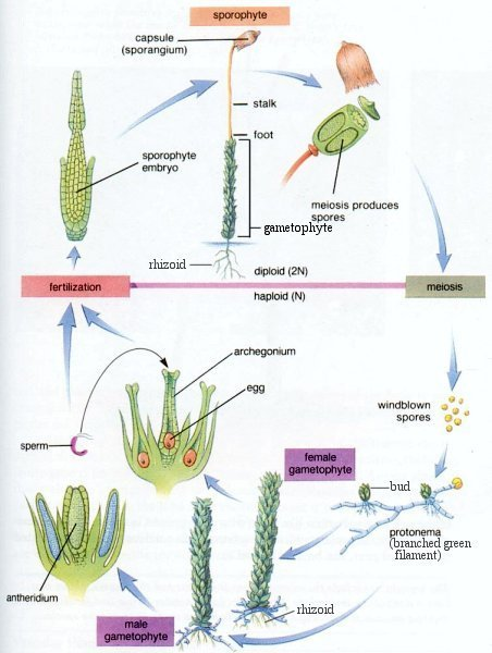 Nephrolepis Life Cycle