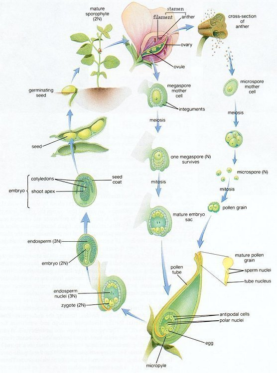 Gymnosperm asexual reproduction examples