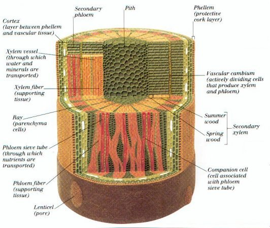 Stem cell anatomy