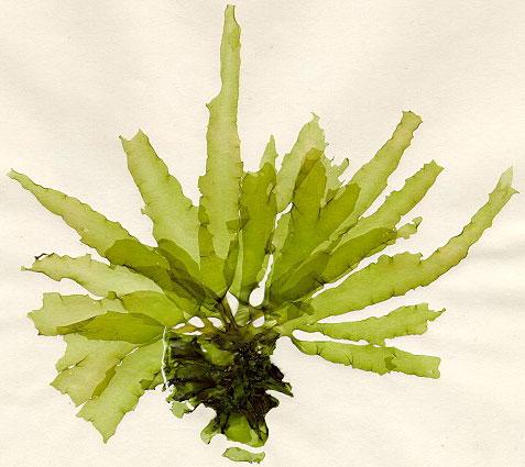 Ordovician Green Algae The Green Algae Must Have