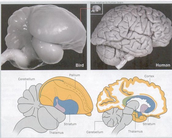 Avian brain anatomy