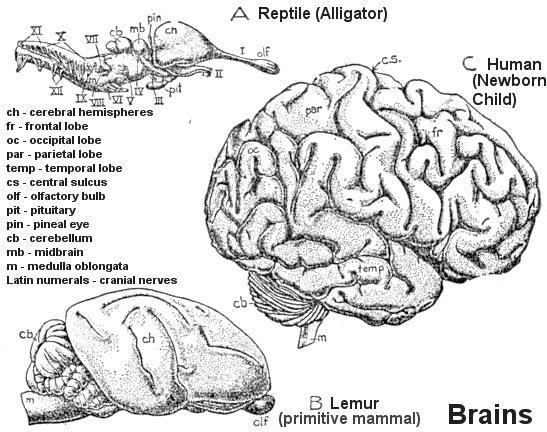Age of animals brain evolution ccuart Images