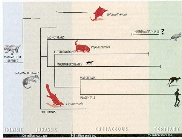 Early Mammal Evolution