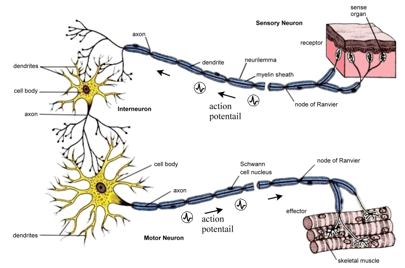 Neurons and Nerve