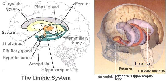 Brain parts and their function mammalian brain ccuart Image collections