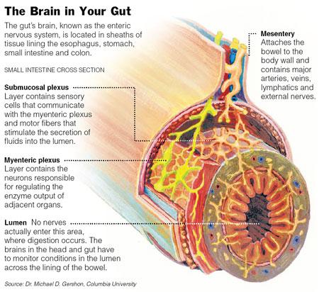 a study of gastrointestinal physiology enteric nervous system The enteric nervous system and regulation of intestinal motility  physiology of the enteric nervous system.
