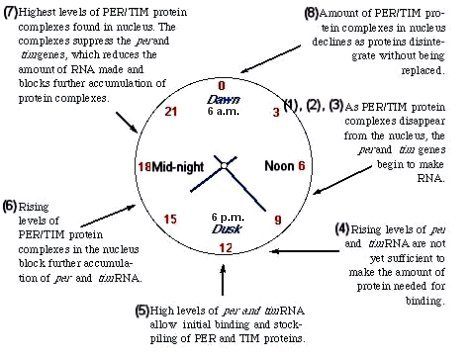 biological clock in plants pdf