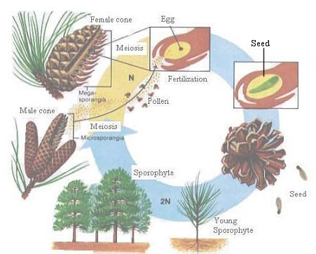 seed structure diagram pine ficus seed structure diagram plant taxonomy bi