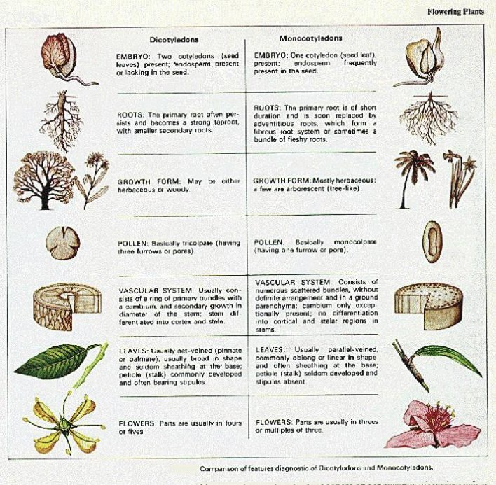 Go Back > Gallery For > Gymnosperms And Angiosperms 10 Examples Of Monocot Plants