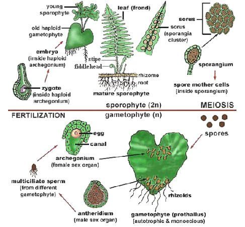 Fern Life-cycle