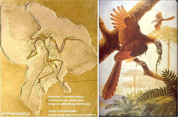 Figure 08e Archaeopteryx and Fossil [view large image] Archaeopteryx Not A Transitional Form