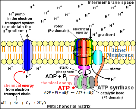 Figure 07 ATP Synthase