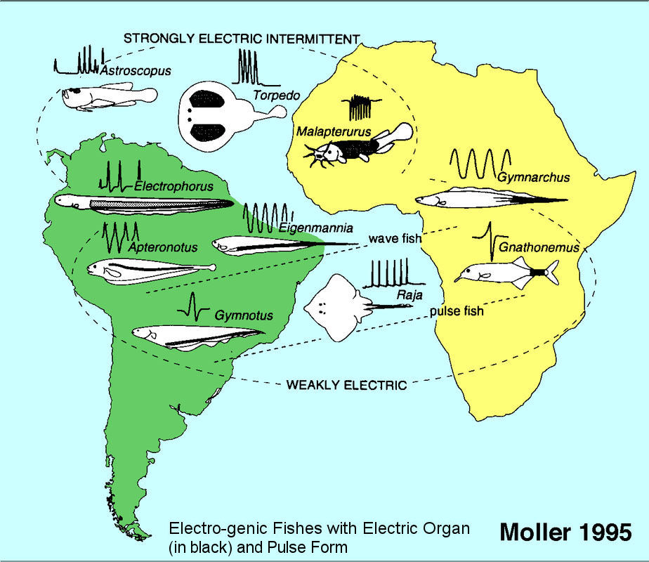 Electric Eel Electric Field to Detect Electric Field