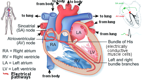 Bio electricity heart ccuart Images