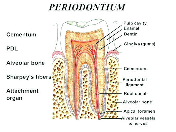 periodontal ligament - Kubre.euforic.co