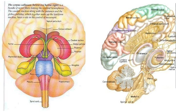 relationship between limbic system and prefrontal cortex function