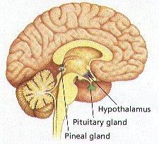 endocrine system on emaze, Sphenoid