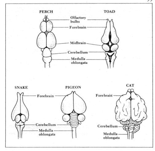 Anatomy of animals figure 27b brains of the vertebrates ccuart Gallery