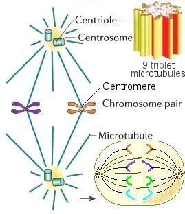 what is the relationship between centrosome and centriole