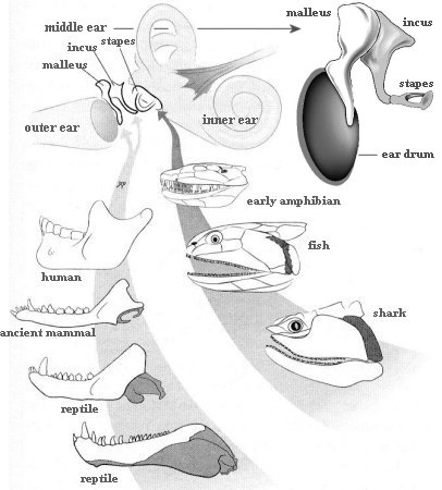 Anatomy of animals earbones evolution ccuart Images