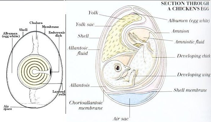 Baby chick anatomy