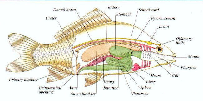 Worksheets Labeling Of Of A Fish Body prentice hall 11 1 and 2 vertebrates fish smithlifescience internal view
