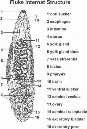 Anatomy of animals tapeworms and flukes are parasitic with structure reflecting the modifications that occur in parasitic animals concomitant with the loss of predation ccuart Choice Image
