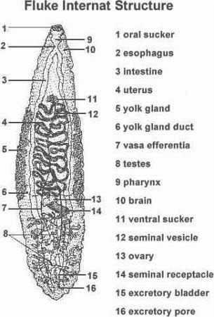 Planarians - Dr. Hunter Biology