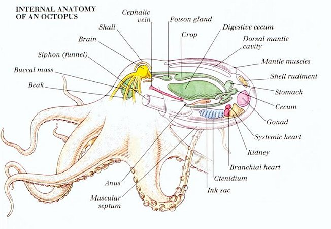 Cricket Internal Anatomy
