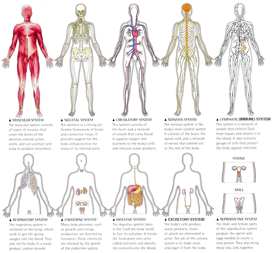 The Circulatory System in addition Citrulline also Money Worksheets For First Grade additionally Type Anatomy Research also R10 33 Anatomy. on immune system worksheet