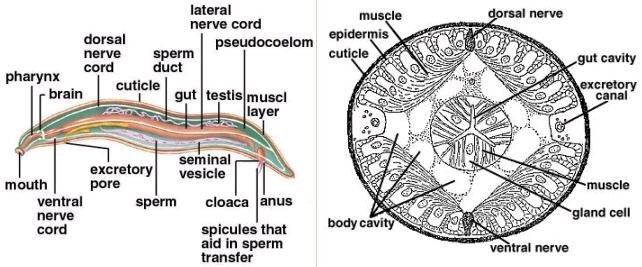 Roundworm Anatomy