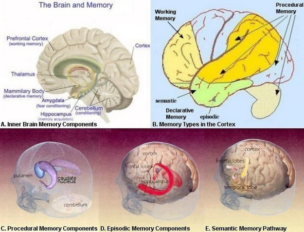 long term memory systems of the human brain Discussions of the size of human long-term memory, see galton 1879 landauer   mind distinct memory systems and may also ask how much of the capacity of.