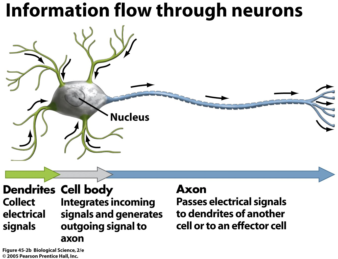 Nervous system for What is a motor neuron
