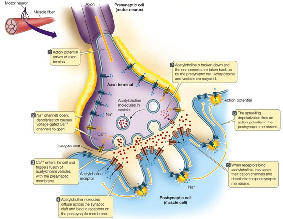 nervous system : synaptic cleft diagram - findchart.co