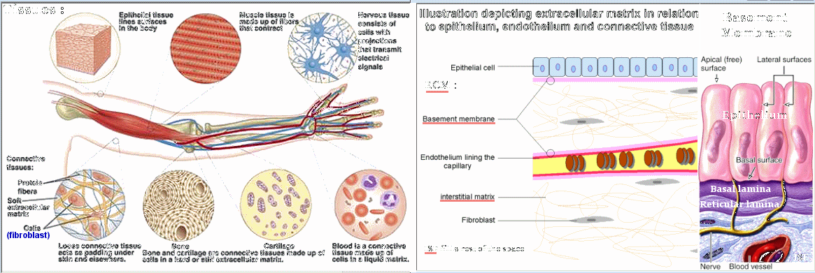 Connective Tissue and Extracellular Matrix (ECM)