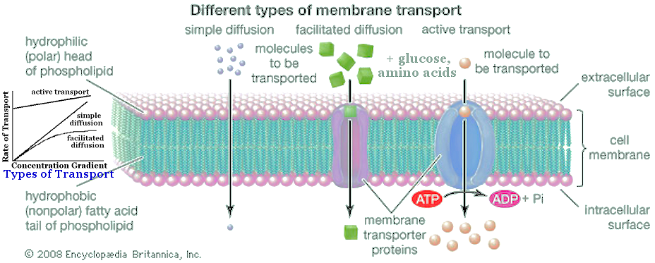 types of cell transport
