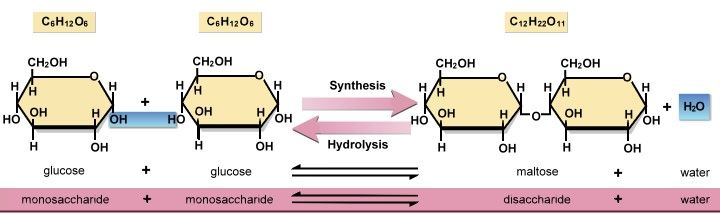 dehydration synthesis carbohydratesHydrolysis Synthesis