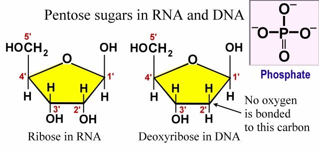 DNA Sugars