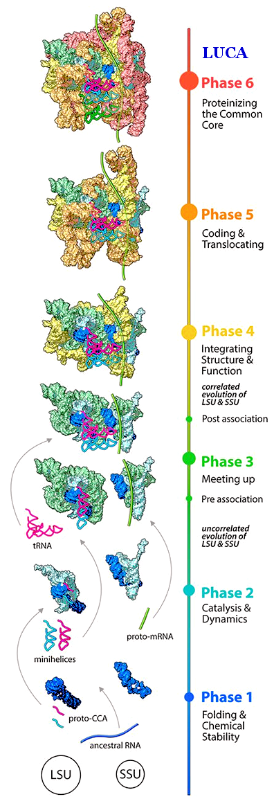 Ribosome Evolution