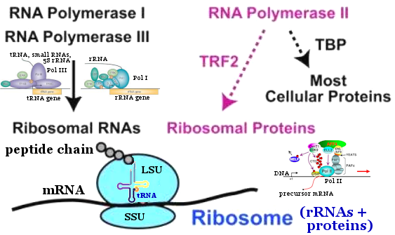 Ribosome Assembly