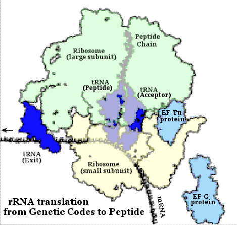 rRNA Translation