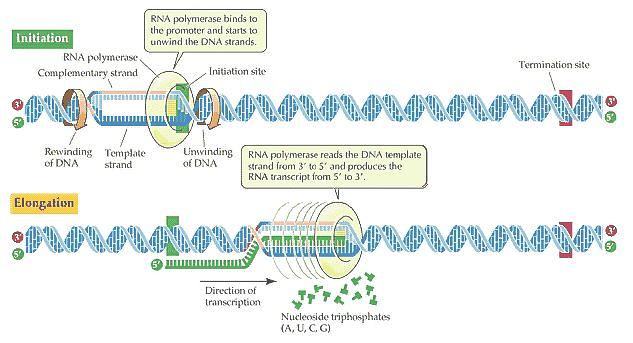 mRNA Transcription
