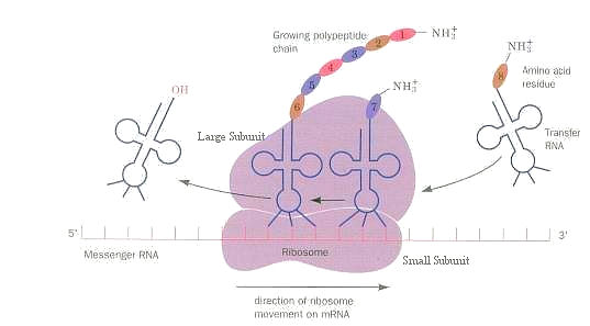 mRNA Translation